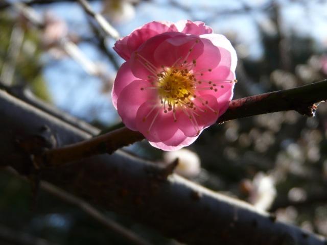 090221弘法寺の紅白梅1_ピンク.jpg